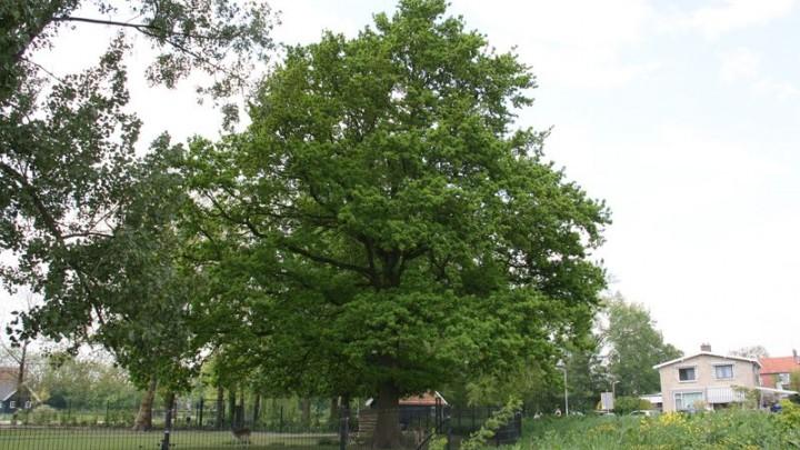 Deze 100 jaar oude zomereik in het Wilhelminapark dingt mee naar de titel 'Mooiste Boom 2021'.